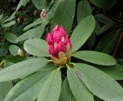 Rhododendron Bud https://www.acupuncture-points.org/lung-qi.html